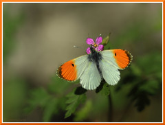 Orange tip (amenauss) Tags: light orange sun sunlight white plant flower green nature animal sign fauna butterfly bug insect spring wings flora natural meadow april nectar schmetterling canon70200f4l