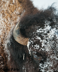 BN35 (Sam Parks Photography) Tags: snow male eye animal vertical closeup rockies mammal buffalo nps wildlife large meadow frosty headshot bull valley yellowstonenationalpark trophy rockymountains wyoming prairie horn tight hoof bison bovidae ungulate bovine ynp frosted herbivore biggame parkservice hooves greatplains gye lamarvalley herbivorous hooved bovid northernrange hoofedmammal winterrange winteringgrounds greateryellowstoneecosystem
