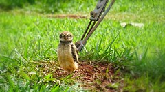 Coruja-buraqueira (sileneandrade10) Tags: bird nature animal natureza pssaro aves owl coruja cerrado burrowing rapina corujaburaqueira avederapina avesdobrasil sileneandrade