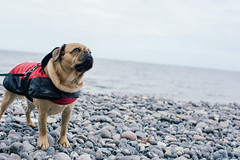 Hi! (Margot in Love) Tags: ocean dog beach water animal strand deutschland stones pug balticsea steine hund parker puggle mecklenburgvorpommern sassnitz