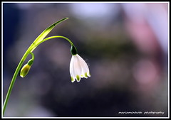 Elegance & Simplicity  ( On Explore - Thank you! ) (mariaminhota) Tags: light sunlight flower macro nature beauty whiteflower spring bokeh simplicity serenity frame naturalart elegance littleflower naturebeauty naturalpainting happymotherday