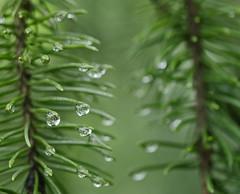 Precipitation (Sun Dogs & Daylilies) Tags: macro nature rain outdoors lumix prime drops bokeh panasonic evergreen monday needles 45mm precipitation may2 gx8 mft panasoniclumix macromondays macromonday microfourthirds happymacromonday dmcgx8 pearlsofprecipitation beginswiththeletterp