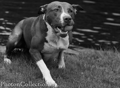 Fetch (Photon Collections) Tags: dog pet game water monochrome amsterdam animal ball photography mono photo fetch canonphotography photoncollections
