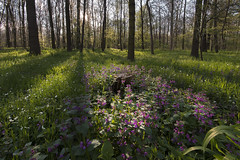 Spring forest (Myanoli) Tags: wood flower tree forest canon wiese blumen wald bume 70d