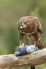 Buzzard at Lunch (skees499 ) Tags: holland nature nikon feeding pigeon ngc birding hide prey buzzard vogel duif buizerd prooi vroegevogels birdphoto d7200 hutfotografie keesmolenaar