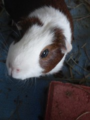 Scatter #3 4.19.16 (grannyju1) Tags: pets bug guineapig scatter april 2016