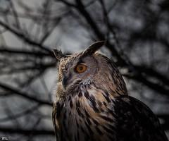 Augengttin / Eyes goddess (roland_lehnhardt) Tags: light shadow birds animals munich zoo licht tiere bokeh owl tierpark vgel schatten strigiformes hellabrunn greifvgel eule tiefenschrfe unschrfe sigma120400mm eos60d beyondbokeh