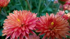 AWP_20150912_13_04_54-pro (Mado AwaD) Tags: pink dahlia plant flower green forest garden ma groen outdoor august bloem mado 2015
