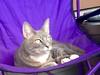 Phoebe lounging around! (Storm_Front) Tags: cat feline tabby kitty gato pest graycat