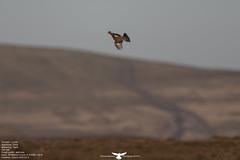 Red Grouse (Thomas Winstone) Tags: uk bird birds wales canon grouse breconbeacons birdwatcher blaenavon redgrouse canon300mmf28 canon300mm28 canonuk birdperfect canon1dx canon300mmf28mk2 canon300mmf28mkii