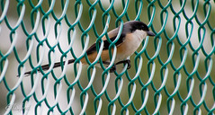 Long-Tailed Shrike (ellisified) Tags: red cute singapore surprise pasirris shrike longtailed bythefence