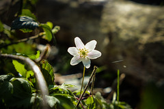 Forest Anemone stretching to the sun (sara.wendelmelhuish) Tags: sun white nature floral beauty spring woods greenwich meadow anemone growing eltham oxleaswoods se9