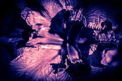 Fall into her arms (John Getchel Photography) Tags: iris flower macro photoshop splittone