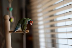 (Jenny Yang) Tags: pet bird lady finch gouldian