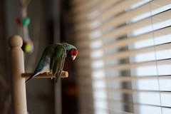 小呆換毛中。。。 (Jenny Yang) Tags: pet bird lady finch gouldian 小呆 胡錦鳥 小蕃茄