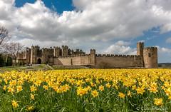 Alnwick Castle Daffodils (Splendid What) Tags: sky castle alnwick northumberland april daffodils 2016