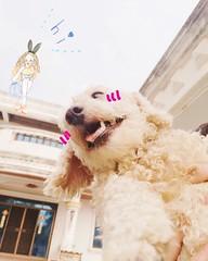 (o*)o  (chalisa86) Tags: dog pet smile square furry squareformat lovely      dogoftheday tawan  doglover poodletoy poodlelove     iphoneography  instagramapp uploaded:by=instagram  dogstagram dogofthedayjp dogsofig poodlesofinstagram pianolinlin
