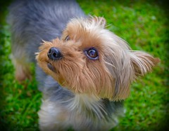 Prunelle (Margaux-Marguerite Duquesnoy) Tags: york dog chien reflection cute green eye yorkie face cane garden out outside eyes little outdoor yorkshire jardin vert oeil yeux perro reflet hund greenery nuzzle extrieur herbe mignon dehors museau mignonne