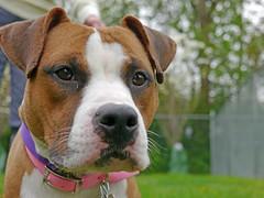 Dakota_07 (AbbyB.) Tags: rescue dog pet newjersey canine shelter adopt shelterpet petphotography easthanovernj mtpleasantanimalshelter