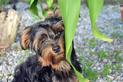 (quadros_larissa) Tags: dog pet green yorkie puppy golden yorkshire