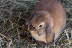 Got Carrots? (Bob90901) Tags: rabbit bunny animal canon march spring 6d 2016 canon70200f28lll canonef70200mmf28lisiiusm rpg90901