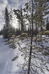 Bosco innevato, snowy wood (paolo.gislimberti) Tags: wood trees snow alberi forest finland landscapes neve paesaggi conifers controluce backlighting firs finlandia bosco taiga foresta environments conifere abeti ambienti