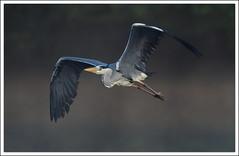 vol brumeux (guiguid45) Tags: bird nature nikon ardeacinerea oiseaux sauvage greyheron loiret hroncendr 500mmf4 d810