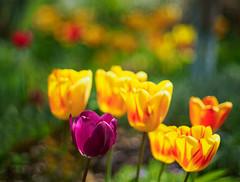 Tiptoe through the tulips (7) (Karsten Gieselmann) Tags: red flower color green rot yellow spring dof blossom bokeh blumen olympus gelb tulip grn farbe frhling tulpe blten schrfentiefe m43 mft vintagelens takumar50mmf14 microfourthirds focusblending em5markii kgiesel