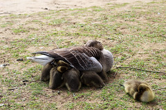 Safety zone (Katrinitsa) Tags: york city uk greatbritain family sleeping england nature colors canon river countryside duck cityscape riverside unitedkingdom britain country mother relaxing ducks security safety british motherhood duckie hapiness cocooning