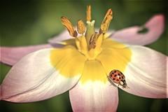 Tulip with ladybug (yorkiemimi) Tags: flower nature garden insect lila gelb lilac tulip ladybug blume tulpe marienkfer