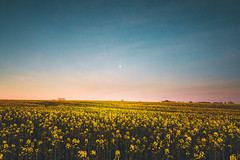 Lonely Sky (Adam_Marshall) Tags: flowers moon adam nature field yellow canon landscape outdoors countryside spring soft open infinity empty sigma marshall cambridgeshire goldenhour vast adammarshall 1750mmf28 stereocolours eos70d