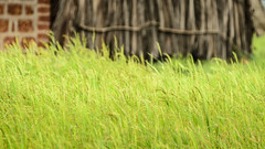 thinking green thoughts (pangalactic gargleblaster and the heart of gold) Tags: india green grass rural hut thatch maharashtra