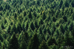 Pinos (Mimadeo) Tags: trees tree green texture nature pine forest pattern many background crowd conservation aerialview pines repetition backdrop coniferous conifer highangleview elevatedview
