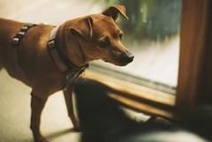 Twiggy (julzdream) Tags: dog 35mm pentax spotmatic minpin