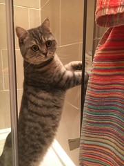 Holly in the shower  (oates_julia) Tags: blue cat shower 100v10f spotty shorthair british