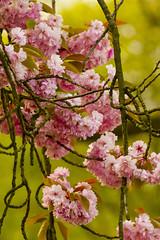 Japanse sierkers enkelbloemig (Prunus serrulata 'Hizakura').005 (George Ino) Tags: pink copyright holland netherlands rose flora utrecht blossom nederland cherryblossom fiore bloesem efflorescence fioritura florao dofbokeh ftori blteblossomrosaceaecherryblossomhanamisakura georgeino georgeinohotmailcom naturenatuurnatur prunusserrulatahizakura japansesierkersenkelbladig voorjaarspringfrhjahrprintempsprimavera