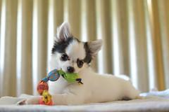 Myu (myu-myu) Tags: dog pet chihuahua nikon  d500