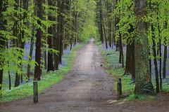 IMG_5627 (ruiterde) Tags: blauw belgium belgie halle hyacinth hallerbos sprokkjesbos