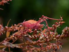 Garden katydid instar on Haloragis erecta (dracophylla) Tags: orthoptera royaltasmanianbotanicalgardens haloragaceae gardenkatydid haloragiserecta caediciasp tettigoniidae