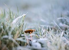 Pilz im Morgentau (ingoal18) Tags: mushroom bokeh wiese gras grn nikkor eis weiss tropfen pilz reif efeu morgentau d7100