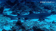 Whitetip reef shark - Tiburn de arrecife de punta blanca (divingthecloud) Tags: sea fish pez shark mar agua diving maldives buceo maldivas whitetipreefshark fotosub bajoelagua tiburonpuntablanca