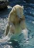 magic paws (ucumari photography) Tags: ucumariphotography anana polarbear ursusmaritimus osopolar ourspolaire oursblanc oso bear animal mammal nc north carolina zoo niedźwiedźpolarny الدبالقطبي 北极熊 jääkarhu eisbär ísbjörn orsopolare シロクマ полярныймедведь 북극곰 water paws dsc6346 january 2016 specanimal 北極熊