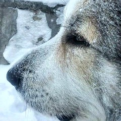 #letitsnow #icedog #pyrenees (pharmazzon) Tags: dog snow friend fluffy letitsnow pyrenees icedog