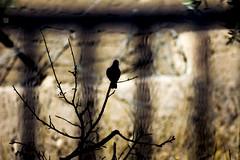Jail break (Vizart [radwan vizar]) Tags: light shadow bird animal dove ombre morocco maroc marokko maruecos midelt radwan vizar radwanvizar