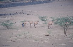 Nen amb camells (Mundo Kela) Tags: africa color analog kid child camels nio nen analgico camellos camells etiopa canoneos500n