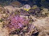 Foureyes in the Anemone Spotlight (Phil's 1stPix) Tags: fish nature geotagged underwater snorkel natural florida wildlife sealife geotag floridakeys saltwater seaanemone ecosystem naturephotography waterproofcamera underwaterphotography floridawildlife monroecounty wildflorida foureyebutterflyfish floridasealife lowerkeys realflorida floridanature naturalflorida condylactisgigantea chaetodoncapistratus floridaunderwater penicillus pinktippedanemone taxonomy:binomial=chaetodoncapistratus taxonomy:binomial=condylactisgigantea floridaecosystem underwaterflorida floridasnorkel calcareousalgae keysunderwater sealifecameras sealifedc1400 wahookey saltwaterunderwater lowerkeyskayaktrip creativecommonsnature penicilluscapitatus seadragon1200underwaterdivelight