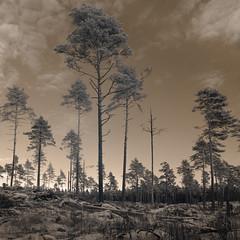 Wild is the wind (c e d e r) Tags: david dark bowie ode heart wind rip concept ceder darklyseries