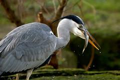 Graureiher (AvesAg) Tags: berlin heron zoo ardeacinerea greyheron reiher graureiher