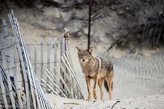 Coyote at Sandy Hook - 1 (RGL_Photography) Tags: coyote us newjersey highlands unitedstates wildlife monmouthcounty jerseyshore sandyhook canid wildlifephotography canislatrans gatewaynationalrecreationarea spermaceticove coywolf nikond610 tamronsp150600mmf563divcusd
