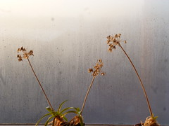 Dry stalks in winter (seikinsou) Tags: winter brussels snow plant cold flower ice window belgium belgique bruxelles flowerpot condensation agapanthus stalk